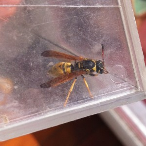 how to kill a wasp in your house